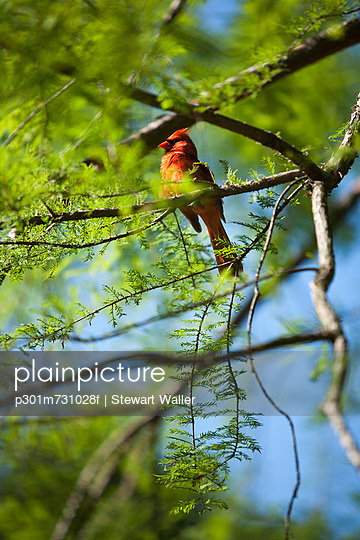North Carolina\'s sate bird, the Red Cardinal (Cardinalis cardinalis)