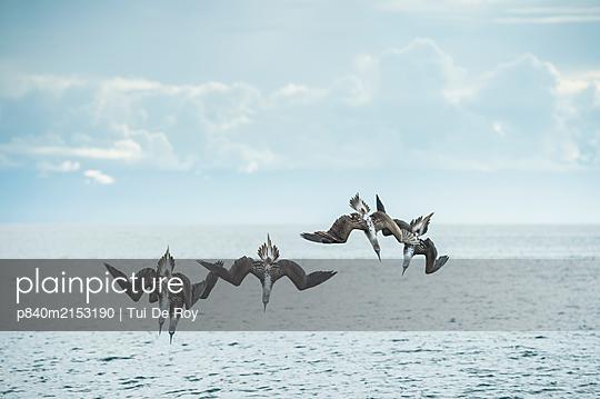 Blue-footed booby (Sula nebouxii), five diving into sea. Espumilla Beach, Santiago Island, Galapagos. - p840m2153190 by Tui De Roy