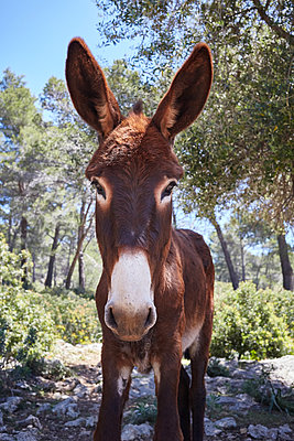 Donkey close-up - p1198m2057298 by Guenther Schwering