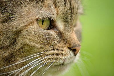 Close-up portrait of a brown tabby cat. - p1433m1541067 by Wolf Kettler