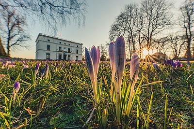 Germany, Hamburg, Jenisch park, Crocuses against the sun, Jenisch House in the background - p300m1579388 von Kerstin Bittner