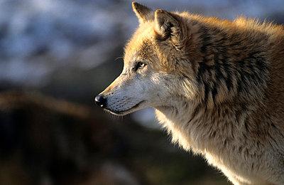 Wolf im Bayerischen Wald - p3300399 von Harald Braun