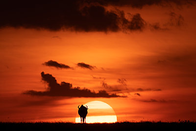 A blue wildebeest (Connochaetes taurinus) is silhouetted against the setting sun on the horizon. It has curved horns and is walking towards the sunset, Maasai Mara National Reserve; Kenya - p442m2019752 by Nick Dale