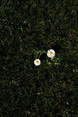Zwei Gänseblümchen - p4470196 von Anja Lubitz