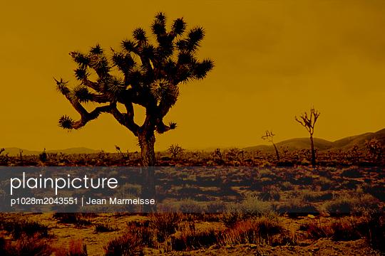Joshua tree (Yucca brevifolia), Joshua Tree National Park, California - p1028m2043551 by Jean Marmeisse