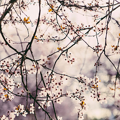Blooming ornamental plum tree. Pink blossom on the branches. Spring in Seattle - p1100m876832f by Paul Edmondson