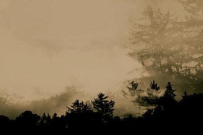 Coniferous forest - p450m2207552 by Hanka Steidle