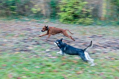 Zwei spielende Hunde im Herbst - p739m1191053 von Baertels