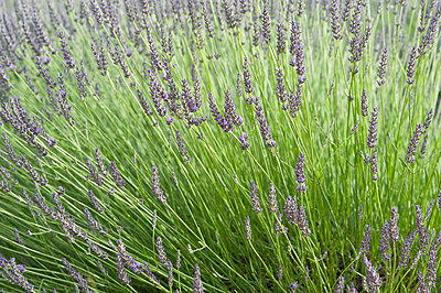 View of lavender flower - p300m797779f by Achim Sass