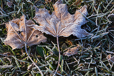 Maple leaves and frosty ground - p9244034f by Image Source
