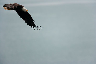 Bald eagle flying in the air - p1100m887951f by Art Wolfe