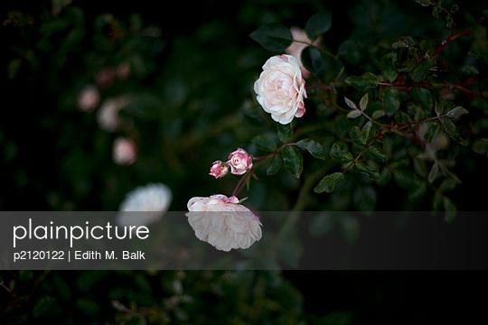 Rosenstrauch - p2120122 von Edith M. Balk