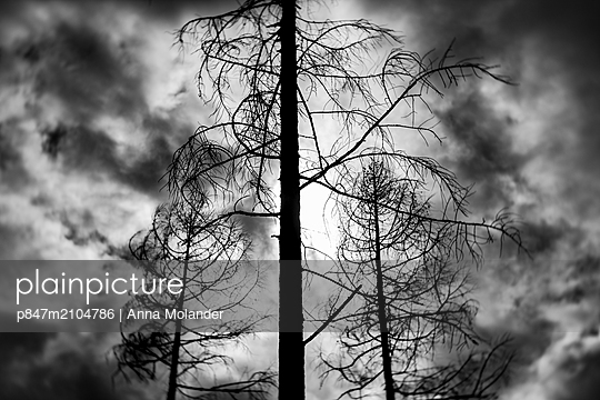 Trees After Forest Fire   - p847m2104786 by Anna Molander