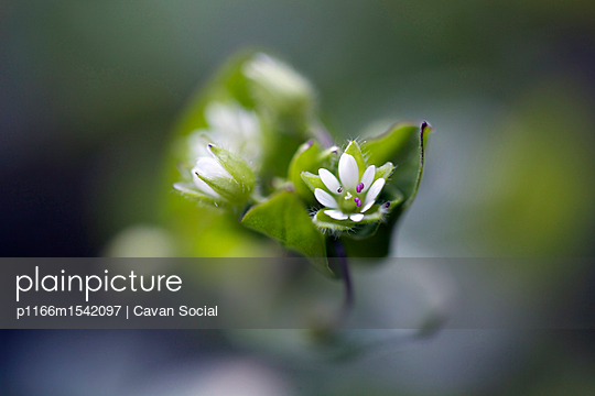 plainpicture | Photo library for authentic images - plainpicture p1166m1542097 - Close-up of white flower at... - plainpicture/Cavan Images/Cavan Social
