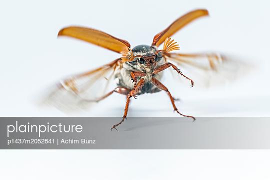 May beetle, Melolontha - p1437m2052841 by Achim Bunz