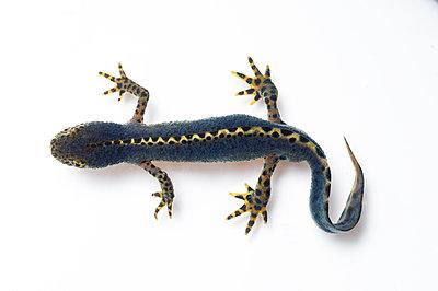 Alpine newt, Ichthyosaura alpestris - p1437m2052889 by Achim Bunz