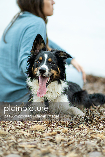 nice dog looking at camera, with long tongue and crazy ears - p1166m2269662 by Cavan Images