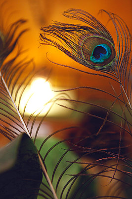 Peacock Feather - p1150m1423887 by Elise Ortiou Campion