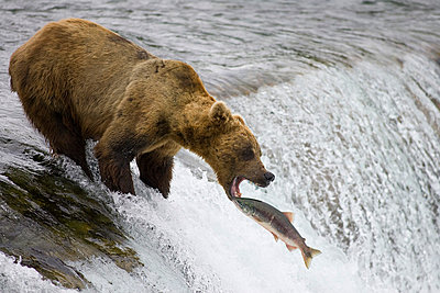 Grizzly Bear attempting to catch leaping Sockeye Salmon - p884m863129 by Matthias Breiter