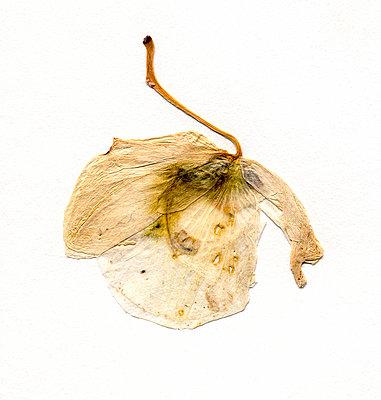Orchideenblüte - p417m886548 von Pat Meise