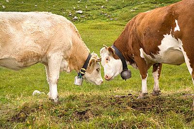Kühe beschnuppern sich - p5790152 von Yabo