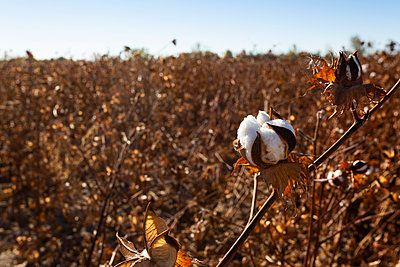 Fluffy cotton boll in a field in Uzbekistan - p590m2057423 by Philippe Dureuil