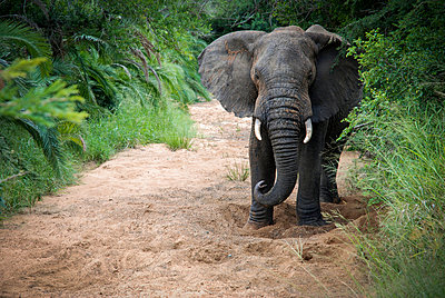 Elephant at Hluhluwe-Imfolozi Game Reserve in South Africa. - p343m989418f by Jeremy Wade Shockley