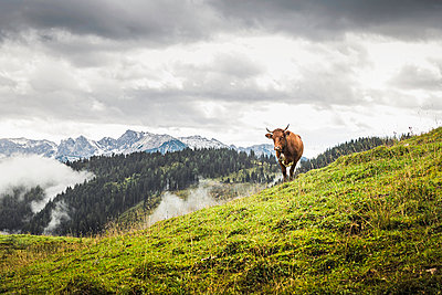 Lone cow and distant mountains - p429m895397f by Alan Graf