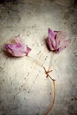 Zwei vertrocknete Orchideen Blüten - p451m2031972 von Anja Weber-Decker