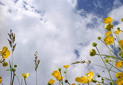 Ranunculus acris - p945m715962 by aurelia frey