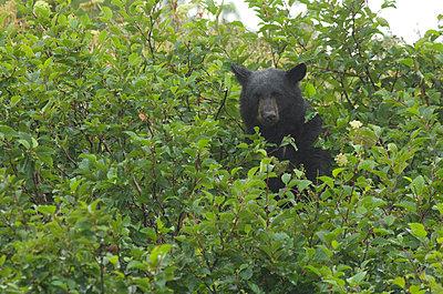 A black bear sitting in adler bu - p3433803 by Tom Bol