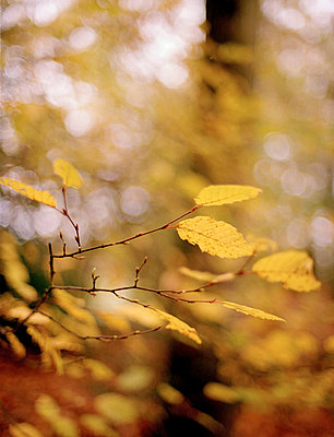 Yellow leaves in Scottish woodland - p349m2167776 by Polly Wreford