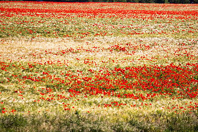 Barley fields with corn poppies - p739m1030884 by Baertels