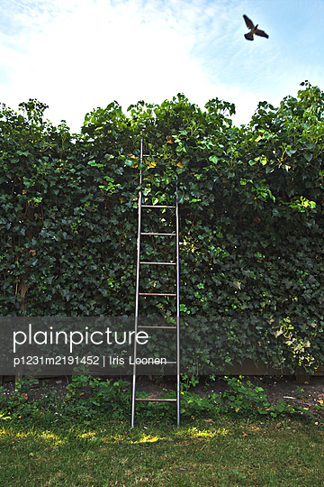 Leiter an einer Hecke, Vogel fliegt davon - p1231m2191452 von Iris Loonen