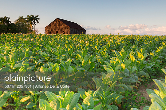Tobacco farm for Cuban cigars in Vinales, Cuba, West Indies, Caribbean, Central America - p871m2057981 by Alfonso Della Corte