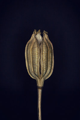 Dried Iris seed-vessels  - p1028m1040980 by Jean Marmeisse
