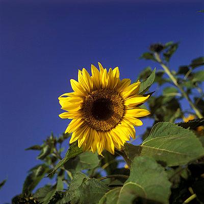 Sonnenblume - p2200043 von Kai Jabs