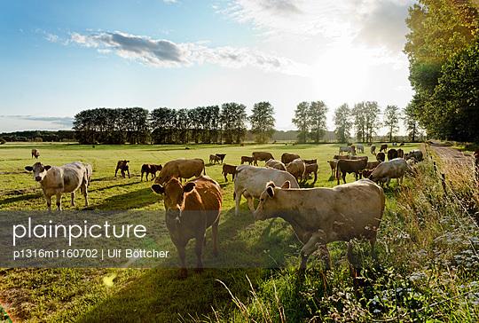 Kühe auf der Weide, Landschaft bei Bad Doberan, Mecklenburg-Vorpommern, Deutschland - p1316m1160702 von Ulf Böttcher