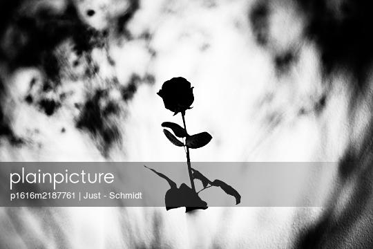 Einzelne Rose im Gegenlicht - p1616m2187761 von Just - Schmidt