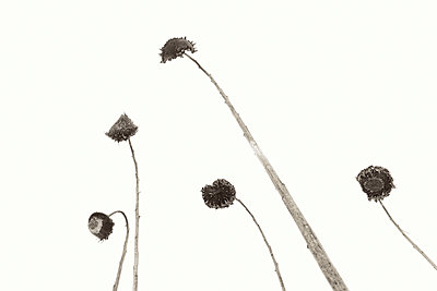 Verblühte Sonnenblumen - p1335m1222584 von Daniel Cullen