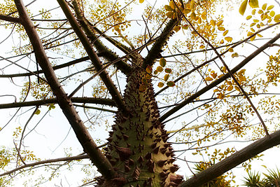 Silk floss tree - p4150612 by Tanja Luther