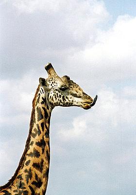 Africa, Kenya, Giraffe - p8470479 by Johan Wingborg