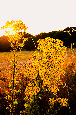 Wild flowers at sunset - p879m2193131 by nico