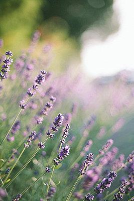Lavendelblüten im Gegenlicht - p946m823747 von Maren Becker