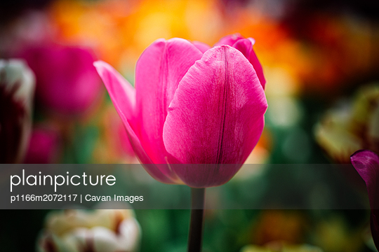 Beautiful tulips flower in floral field in spring - p1166m2072117 by Cavan Images