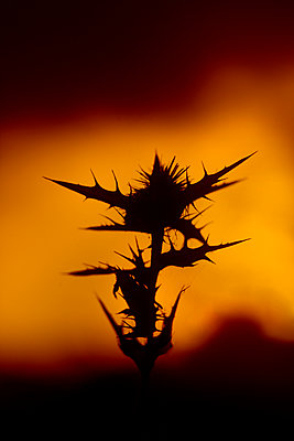 Thistle at sunset with mountain range in the distance - p1028m2135012 von Jean Marmeisse