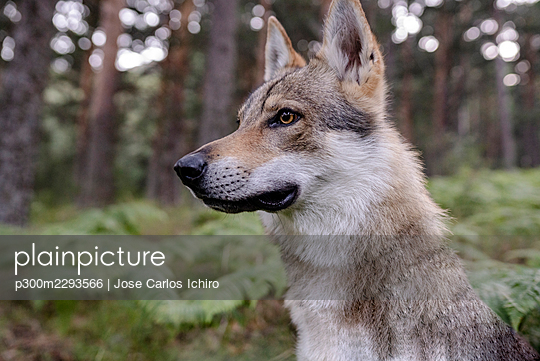 Dog looking away in forest - p300m2293566 by Jose Carlos Ichiro