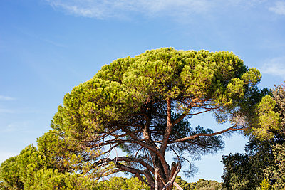 Treetop in the park of Rovinj - p728m2027226 by Peter Nitsch