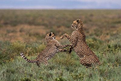 A female cheetah (Acinonyx jubatus) and its cub sparring, Ndutu, Ngorongoro Conservation Area, Serengeti, Tanzania, East Africa, Africa - p871m2022936 by Sergio Pitamitz