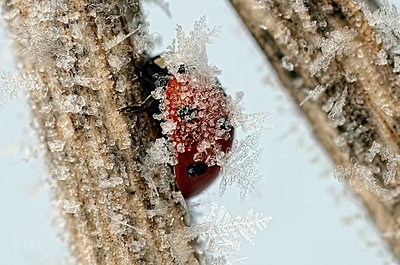 Seven-spotted ladybirds, Coccinella septempunctata, on a twig covered with frost - p300m978941f by Mark Johnson